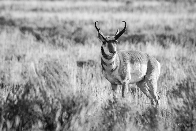 A pronghorn buck standing on a field of sage brush.