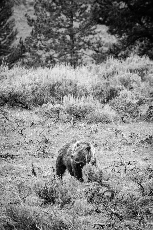 Grizzly 399, standing in a field of sagebrush, looking to her right.