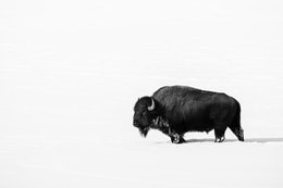 A bison walking on a snow-covered field near Triangle X Ranch, Grand Teton National Park.