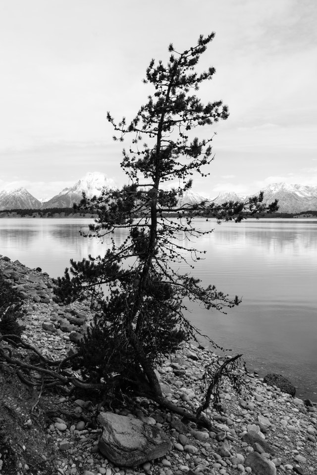 A lone tree near the shore of Jackson Lake, with Mount Moran in the background.