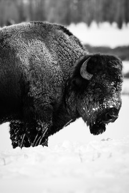 Side view of a bison standing in the snow near the Triangle X Ranch, Grand Teton National Park.