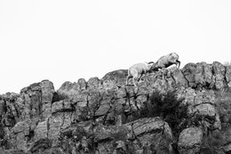 Two bighorn sheep butting heads on a rocky cliff at the National Elk Refuge.