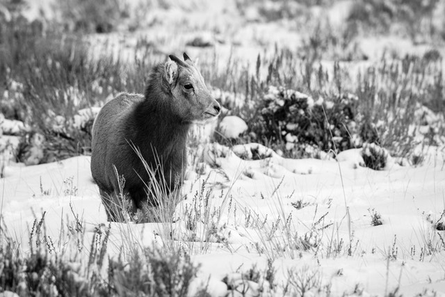 A bighorn sheep lamb standing in the snow at the National Elk Refuge, Wyoming.