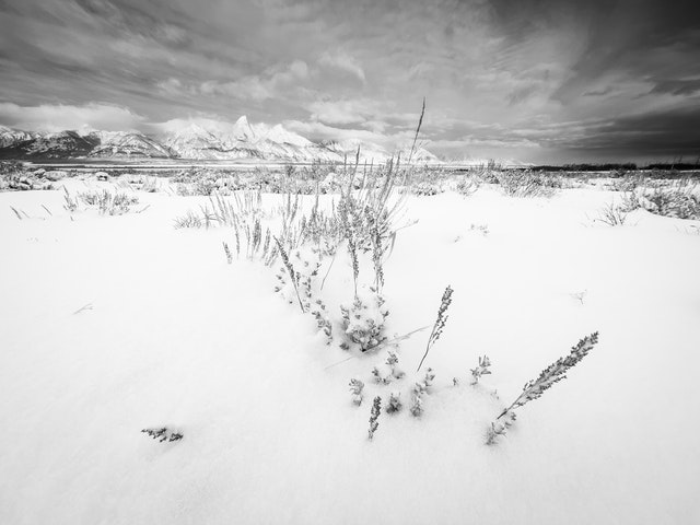 A close-up of sagebrush in fresh snow. In the background, the Teton range.