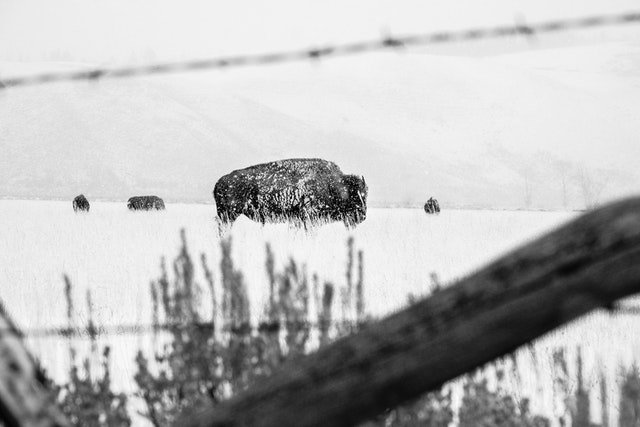 A group of bison in a snowy field near Antelope Flats, seen through a wooden & barbed wire fence.