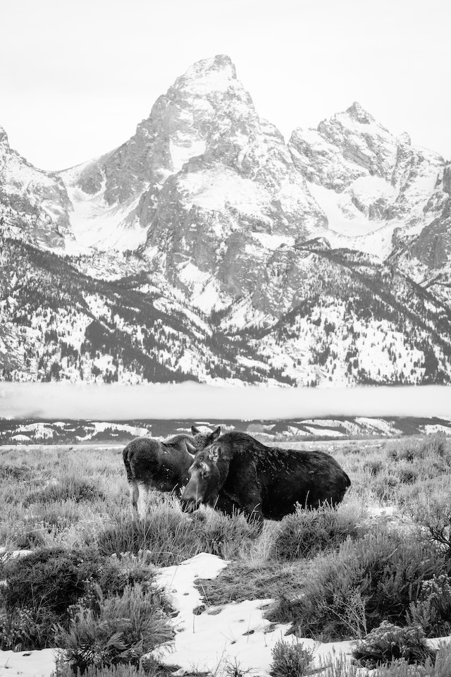 A cow moose and her calf, standing in front of Grand Teton.