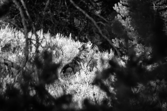 A black and gray wolf is seen between the branches of a tree, sitting in the brush and howling.