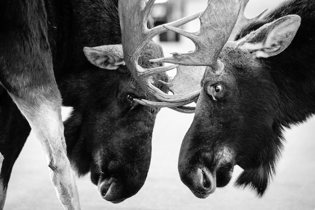 Two bull moose face to face, locking antlers and tussling in the middle of a road.