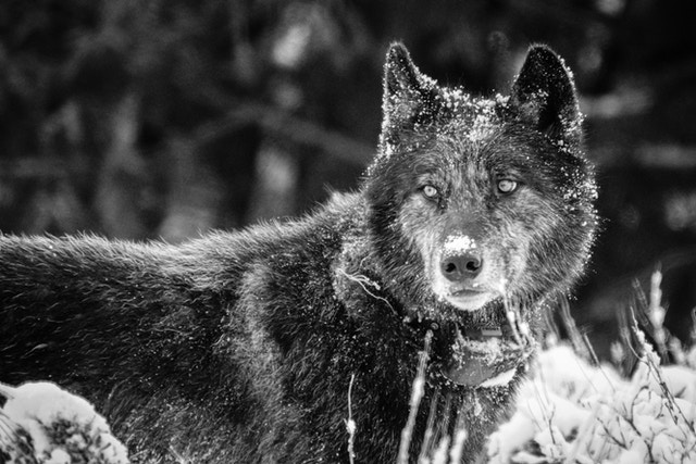 A black wolf with light colored eyes and some white fur on its muzzle, wearing a tracking collar, looking towards its right.