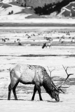 A male elk with long antlers digging through the snow for food, at the National Elk Refuge in Wyoming.