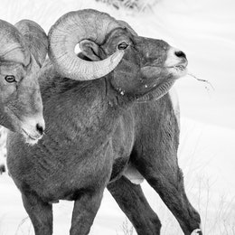 Two bighorn sheep ram standing next to each other. The one on the right has some grasses coming out of his mouth. Their horns are touching.