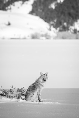 A coyote sitting on the snow next to some brush at Antelope Flats, looking at the camera.