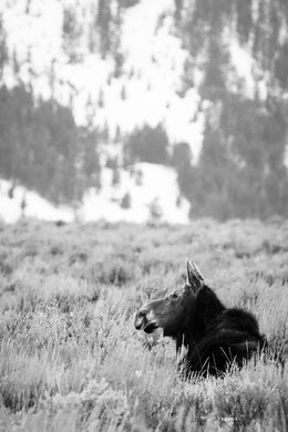A moose sitting in the brush by the Gros Ventre Road near Kelly.