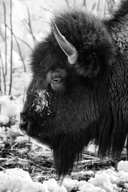 A close-up of a bison's head with snow on its snout, from the side.