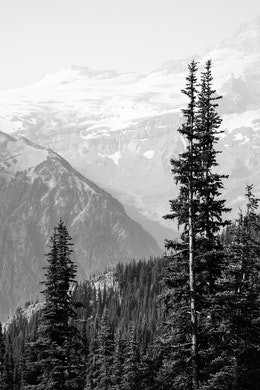 Mountains and forests seen behind a group of trees at Mt. Rainier National Park.