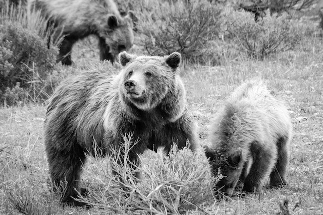 Grizzly 399, looking up while two of her cubs dig for food on the ground.