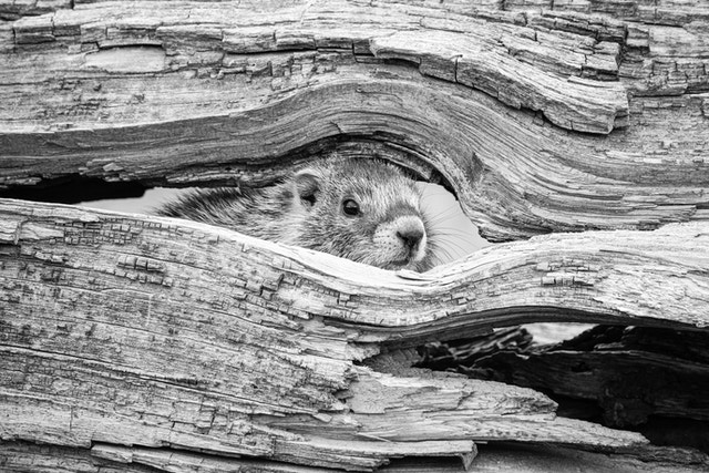 A cute marmot looking through a hole in a fallen log.
