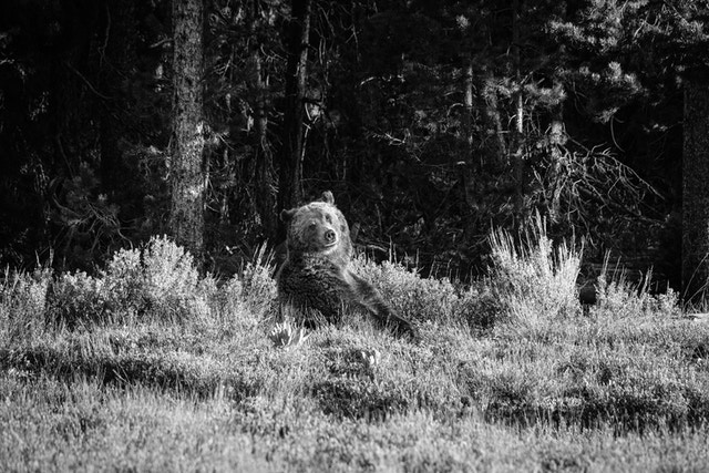 A female grizzly bear sitting among the sage brush near Pilgrim Creek, looking towards the camera.
