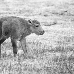 A cute little baby bison standing in a field at Yellowstone.