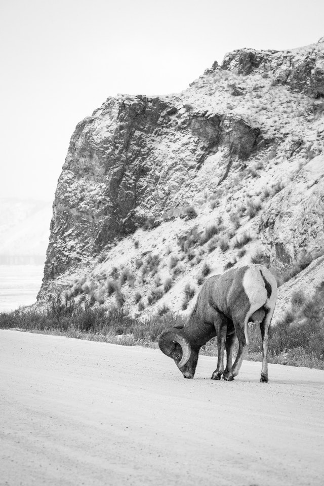 A bighorn ram licking a snow-covered road. In the background, Millers Butte in the National Elk Refuge.