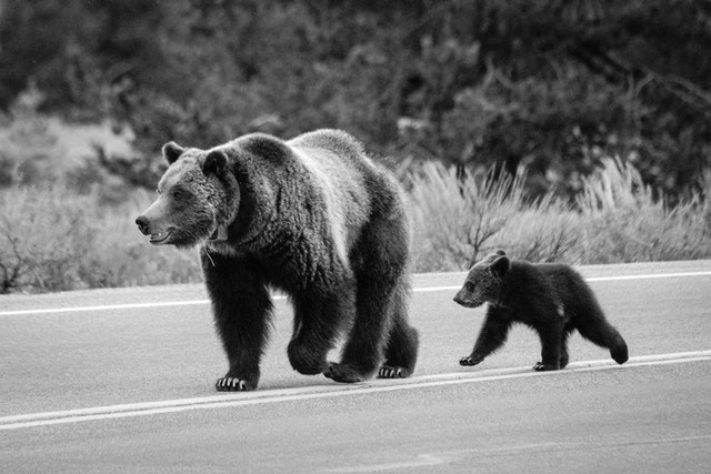 A grizzly sow walking down the middle of a road with her COY.