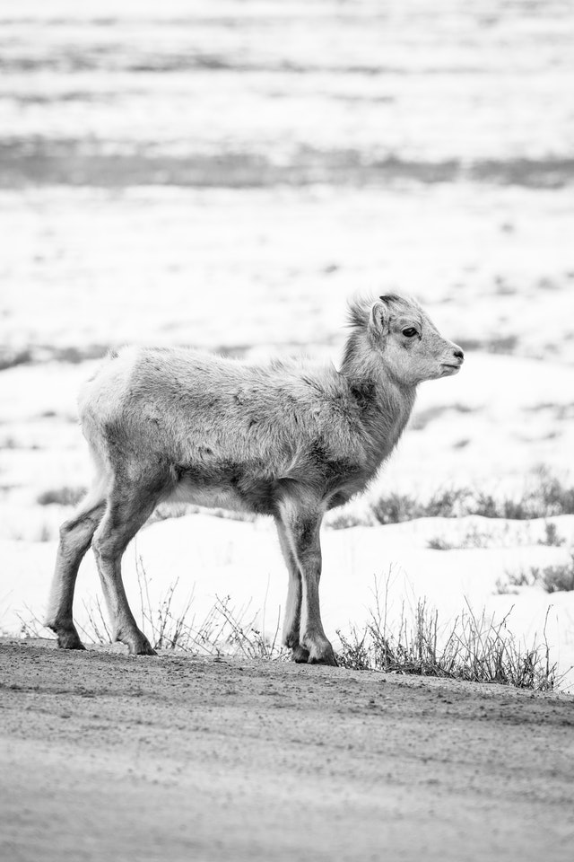 A bighorn lamb standing on the side of the road at the National Elk Refuge.
