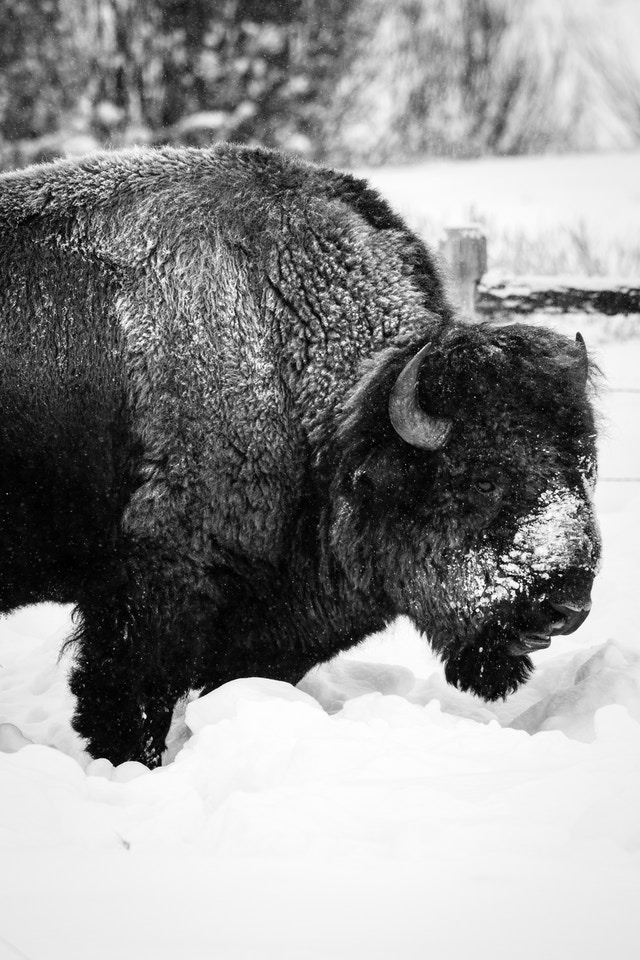 A bison with a snow-covered snout standing in the snow in front of a fence.