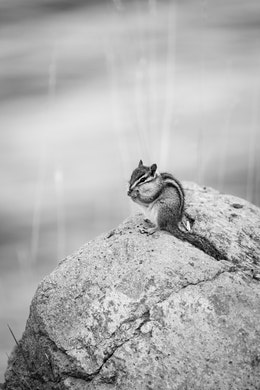 A little chipmunk, eating on a rock by Jackson Lake.