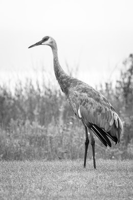 A sandhill crane standing at the Glen Lake picnic area, with Glen Lake in the background.