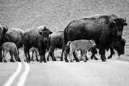 A large group of bison and red dogs crossing the road in the Lamar Valley.