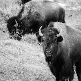 Three bison eating the brush near the Kelly Warm Spring. The one in the foreground is looking the camera with a mouthful of brush.