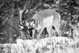 A male pronghorn foraging in the snow. He has clumps of snow on his horns.