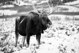A bull moose standing in snow-covered sage brush on Antelope Flats.