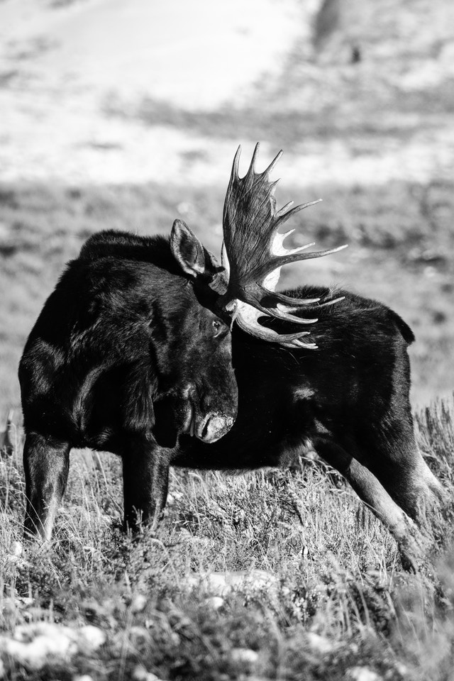 A bull moose scratching his rump with his antlers.