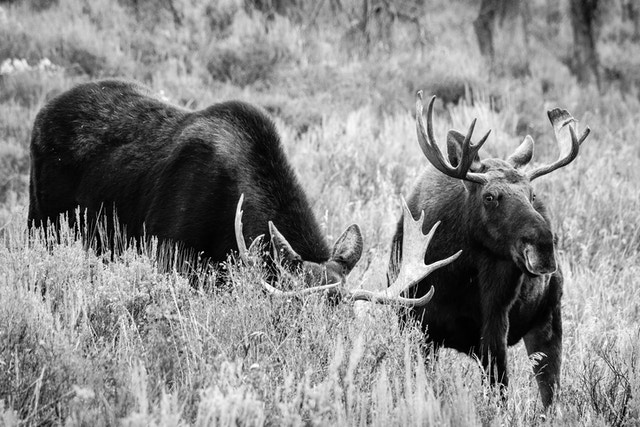 Two bull moose standing next to each other.  The one on the left is heads down, browsing the brush. The one on the right is looking towards the camera.
