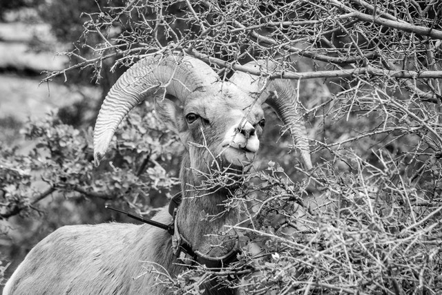 A desert bighorn sheep munching on some tree branches. The sheep is wearing a collar with an antenna.