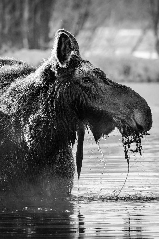 A portrait of a cow moose in a stream, with some aquating plants in her mouth.