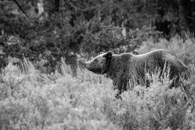 A grizzly sow standing in a field of sagebrush.