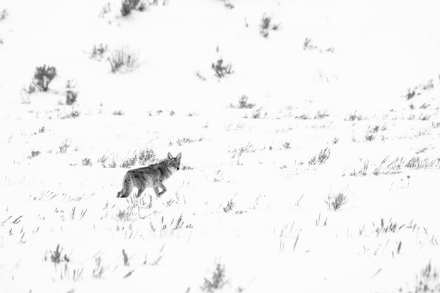 A coyote walking in the snow-covered flats near the Gros Ventre river.