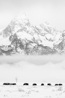 A group of bison grazing in the snow at Antelope Flats, with Grand Teton blanketed in clouds in the background.