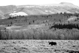 A bull moose walking on a field of sage brush. In the background, bare cottonwood trees, hills, and Sheep Mountain.