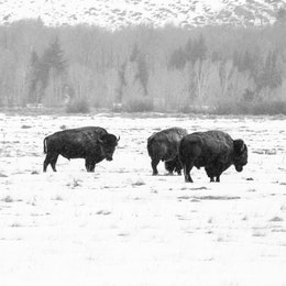 A group of bison on a snow-covered field near the Cunningham Cabin.