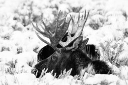 Two bull moose lying down in snow-covered sage brush at Antelope Flats.
