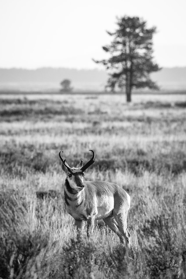 A pronghorn buck standing on a field of sage brush, with a tree in the background.