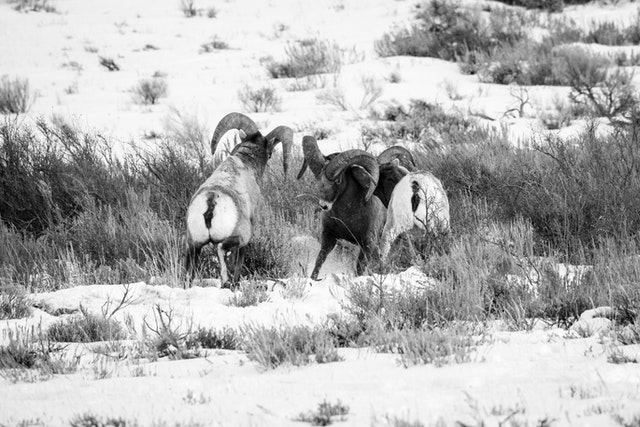 Three bighorn sheep rams butting heads on a hillside at the National Elk Refuge.