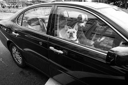A sweet french bulldog peering from the passenger window of a car at a stoplight.
