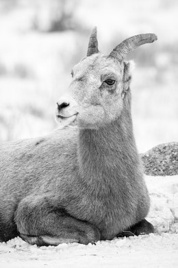 A bighorn sheep laying down on the snow with her legs folded under her, at the National Elk Refuge.