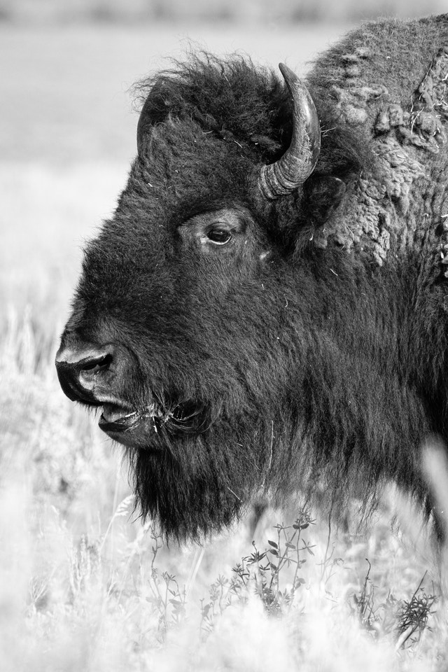 Close-up of a bison chewing some grasses at Antelope Flats.