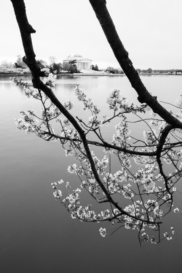 Two branches from a blossoming cherry tree hanging over the Tidal Basin, with the Jefferson Memorial seen between them in the background.