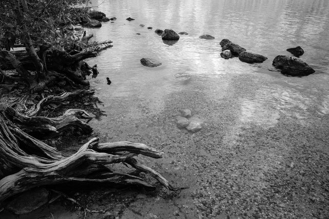 The shore of Jenny Lake. A tree stump and some rocks are in the water.